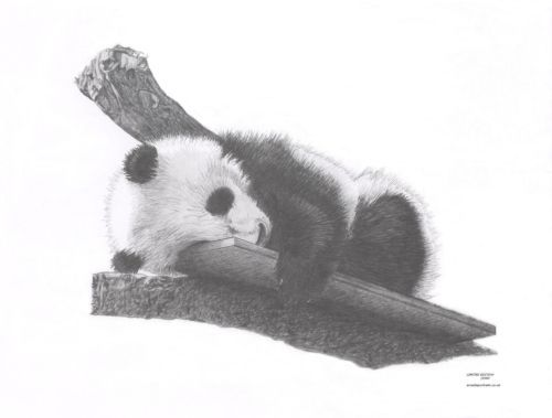 Baby PANDA Cub wildlife art pencil drawing picture Limited Edition print - http://art.goshoppins.com/drawings/baby-panda-cub-wildlife-art-pencil-drawing-picture-limited-edition-print/