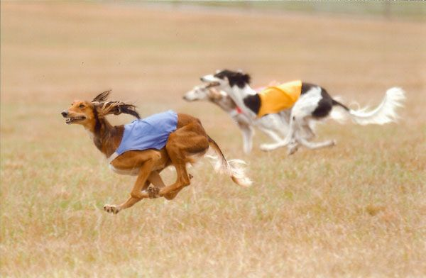 Marquis #2 Lifetime Saluki in ASFA in blue and Nebbi #1 Lifetime Saluki in ASFA history in Yellow.