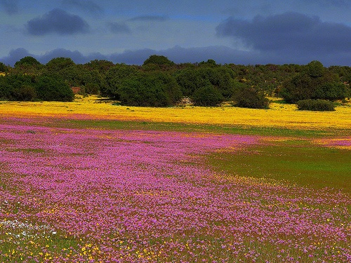 Wild flowers near Nieuwoudtville, South Africa. Bright even when overcast.