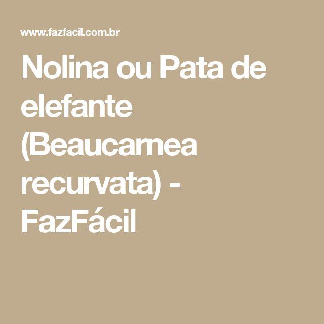 Nolina ou Pata de elefante (Beaucarnea recurvata) - FazFácil