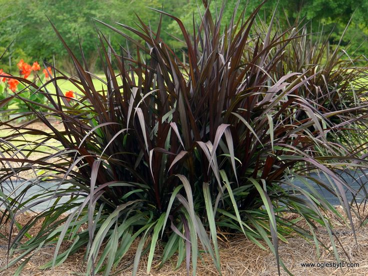 Pennisetum first knight tm ppaf gardening pinterest for Fast growing ornamental grass
