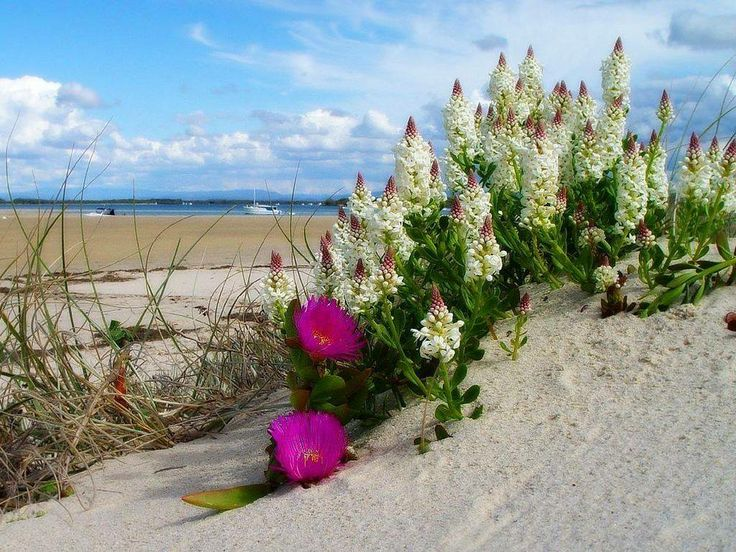 Lupine and ice plant decorate a beach in St. Augustine, FL