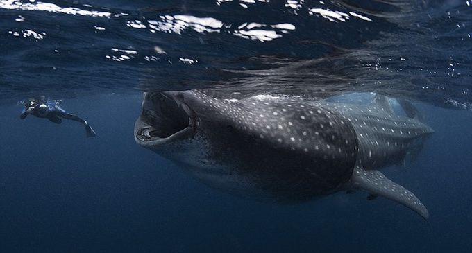 Китовые акулы Mauricio Handler