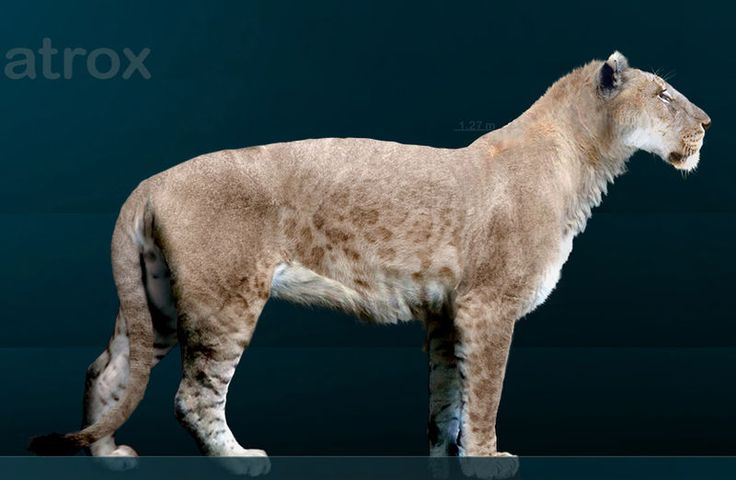 """The now extinct 'American Lion' was a giant predator roaming North and South America as recently as 11,000 years ago. It is thought to have been about twenty-five percent larger than the modern African lion. """"American lions likely preyed on deer, North American horses (now extinct), North American camels, North American tapirs, American bison, mammoths, and other large, herbivorous animals."""""""