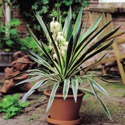 Yucca gloriosa \'Variegata\' for the decking