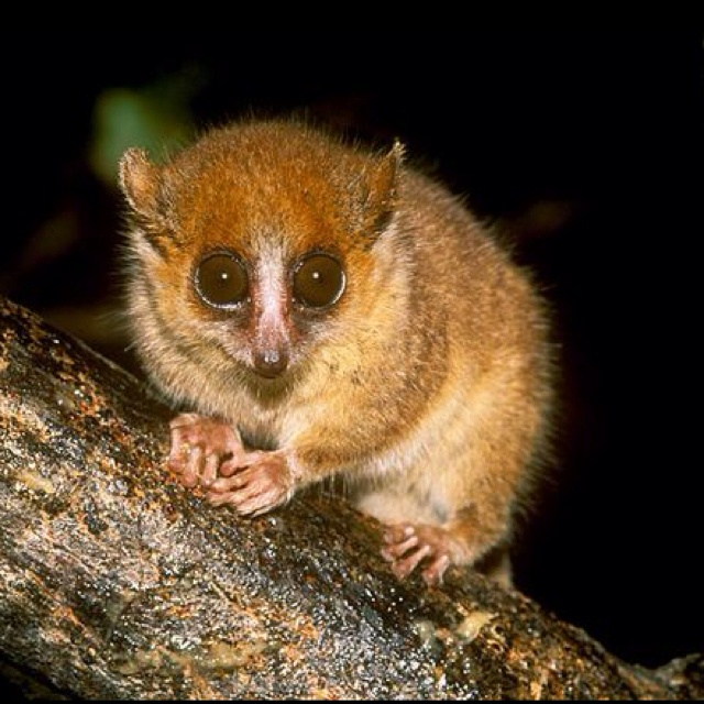 """Mouse Lemurs, Mouse Lemur Pictures, Mouse Lemur Facts - National Geographic  The Latin word lemures means """"ghost."""" Malagasy people have traditionally associated these primates with spirits because they are active at night, and perhaps because of their eerie, large-eyed stare.  There are eight species of mouse lemurs, and several have been identified only in the past few years. This is a rarity in primate research, and illustrates just how much remains to be known about these fascinating…"""