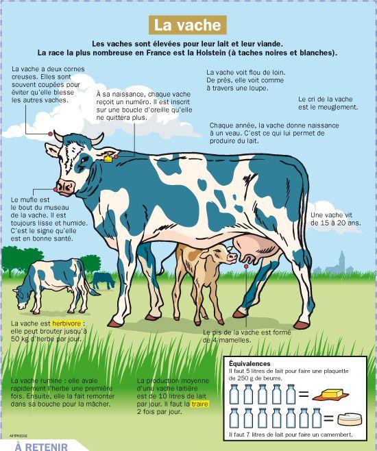 Fiche exposés : La vache