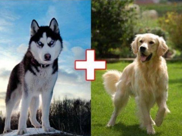 Хаски  и  золотистый  ретривер. Собачьи эксперименты: 10 гибридов собак, полученных в результате сумасшедших скрещиваний