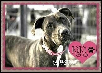 Meet KIKI-DNA tested, a Petfinder adoptable Boxer Dog   Arlington, TX   Boxer Rottweiler Mix � Adult � Female � Medium (Dna testing proof)4/5 years old60 poundsCrate...