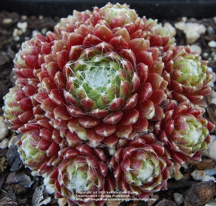 Hen and Chicks, Sempervivum 'Mona Lisa': Photo 1 21, Hens And Chick, Mona Lisa, Flowers Plants, Things Plants, Chick Sempervivum, Entir Plants, Sempervivum Mona, 10 Succulents