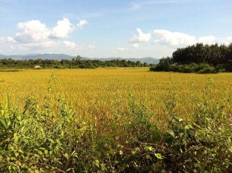 Lush green rice paddies in Luang Namtha