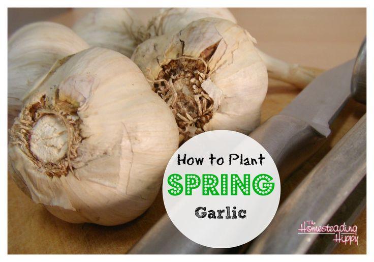 how-to-plant-spring-garlic @Matty Chuah Homesteading Hippy