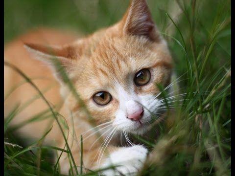 Série vidéo sur le comportement des chats. http://www.inovago.com/blog/informations/chat-probleme-education Avec Daniel Filion l'Éduchateur. Au cours de cett...