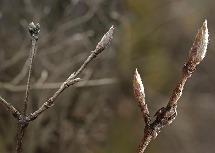 Lehtokuusama, Lonicera xylosteum - Puut ja pensaat - LuontoPortti
