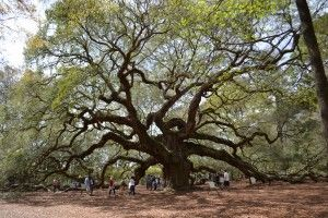 The Angel Oak Tree - Charleston Tree is an absolute must see for anyone visiting Charleston South Carolina. It is on everyone's top ten list of things to do in Charleston. Despite being located on John's Island, the Angel Oak has come to symbolize Charleston South Carolina. It is a southern live oak located in Angel Oak Park, on Johns Island SC. The Angel Oak Tree is estimated to be in excess of 400-500 years old,