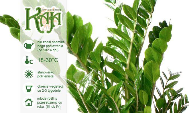 Zamiokulkas: ma niewielkie wymagania, do tego jest wytrzymały na niekorzystne warunki, nadaje się do trzymania w domu, jak i miejscach użyteczności publicznej czy w biurach. Jest jednym z 10 najlepszych roślin, które oczyszczają powietrze.