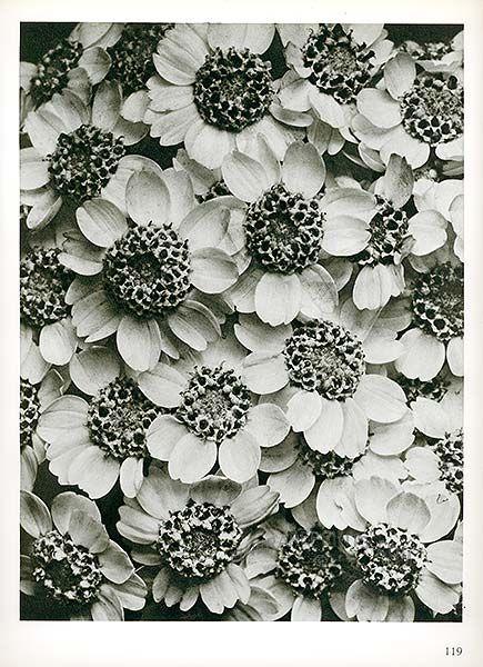 Antique print: picture of Achillea clypeolata (15x) - Yarrow