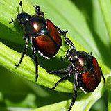 Adult japanese beetles