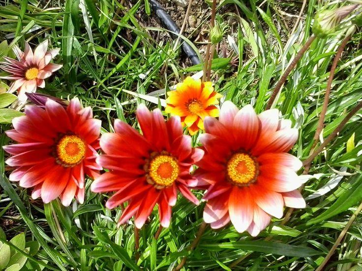 Flores do Meio-dia | Preço por unidade: 0,50€ | Referência: F005 | Mais informações em: http://biokafs-agro.weebly.com/flores.html