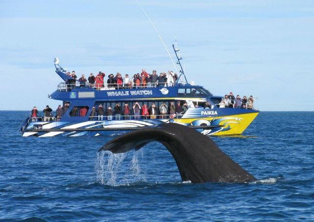 Whale Watching in #Kaikoura #NewZealand  http://www.mydestination.com/christchurch/travel-articles/721657/whale-watching-in-kaikoura
