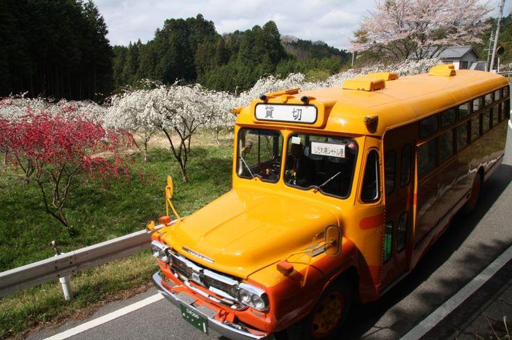 写真: 今年も開花期間中には、こんな可愛い「ボンネットバス」がみなさんを桃源郷にご案内します。 https://www.facebook.com/kankou.asahi?fref=ts