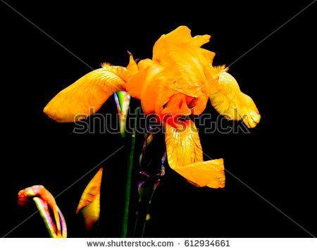 Illustration of iris flowers on a black background