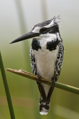 Pied Kingfisher bird. Kingfisher Birds are a group of small to medium sized brightly colored birds that are found all over. The group is single family, Alcedinidae, or a suborder Alcedines containing three families, Alcedinidae (river kingfishers), Halcyonidae (tree kingfishers), and Cerylidae (water kingfishers). There are roughly 90 species of kingfisher. All have large Most species are tropical in distribution, and a slight majority are found only in forests.