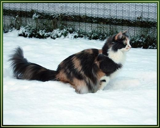 Maine Coon, blue torti solid & white (g 09). Tistelbodes Kimmy of BurgdorfCats