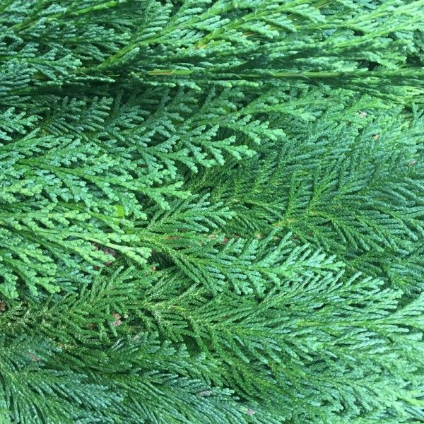 Adventsdeko von Pflanzen-Kölle: Kölle's Bio Zypresse blau Handbund  Allergikerfreundliche, lange haltbare blaue Zypresse in Bio-Qualität. Eignet sich zum Fertigen von Adventskränzen, Sträußen, Gestecken.