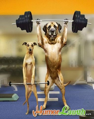 gym dog | Welcome to the dogs gym, here you see the heavy weight lifter dog and ...