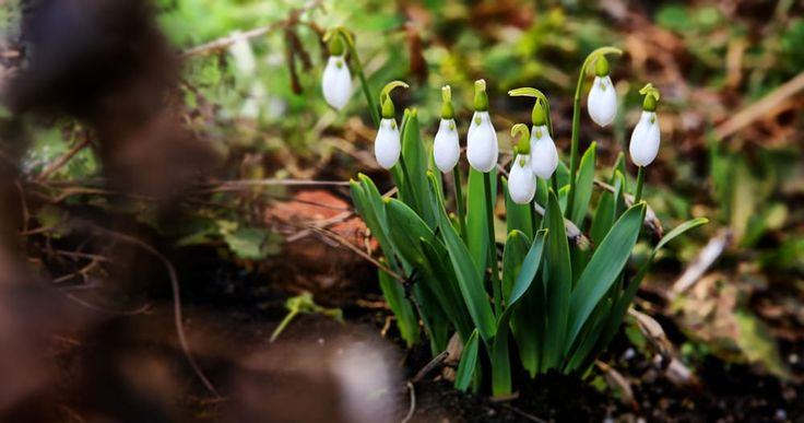 Snowdrops trespassing my garden... by Cristi Mitan on 500px