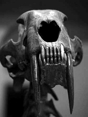 Smilodon, a genus of sabre-toothed cat, is the most recent surviving type of sabre-toothed cat. It last lived in North America 10,000 years ago, around the same time as humans first began to practice agriculture in the Middle East and Asia. Smilodon preyed on large prey such as mammoths, bison, ground sloths and camels.