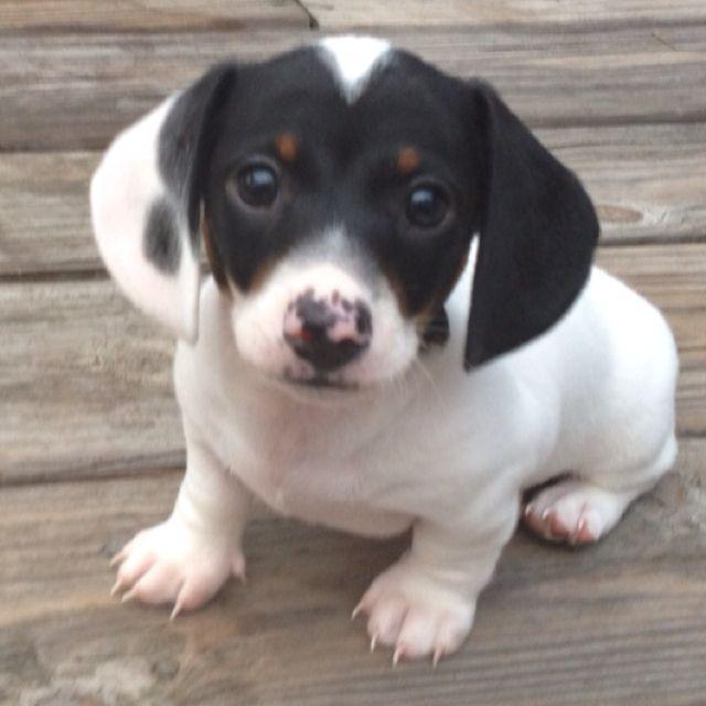 Piebald mini dachshund PUPPY LOVE