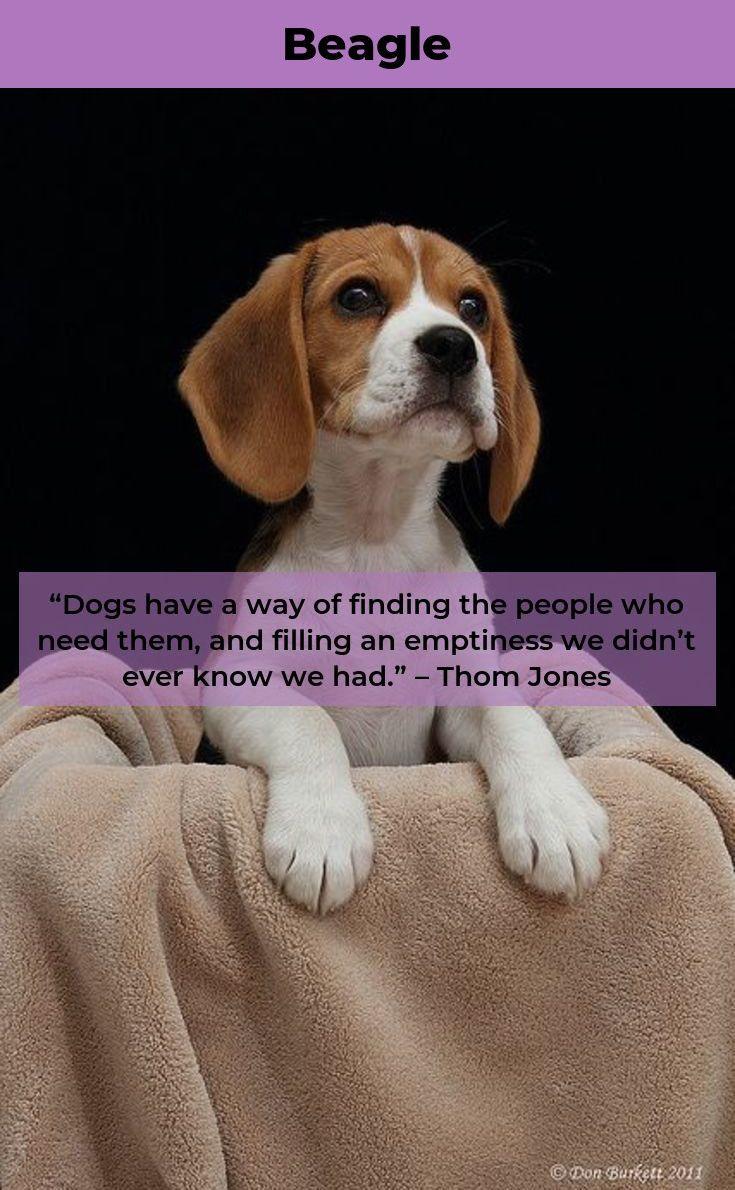 Beagle Puppy Beagles Beagles Facts Beagle Beagle Dog Dogs