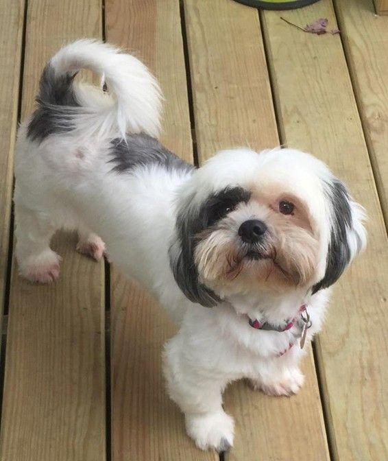 Adopt Willow On Shih Tzu Shih Tzu Puppy Shih Tzu Dog