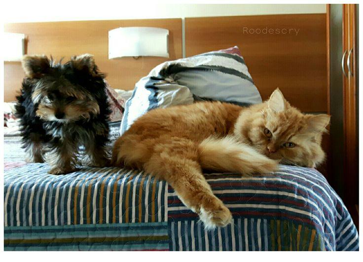 Piteco o cão  Simão  o gato