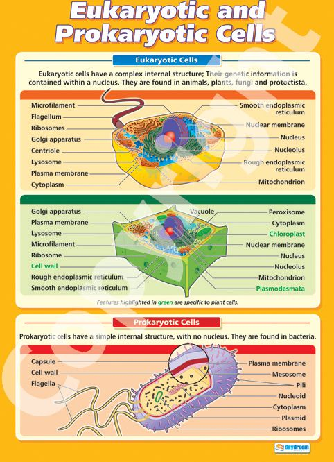 Larger than A1 in size - The Eukaryotic and Prokaryotic Cells Wall Chart is ideal for your science classroom. Suitable from GCSE to A-Level, it is colourful, concise and outlines the key concepts in this topic. Get it for your classroom from only £5