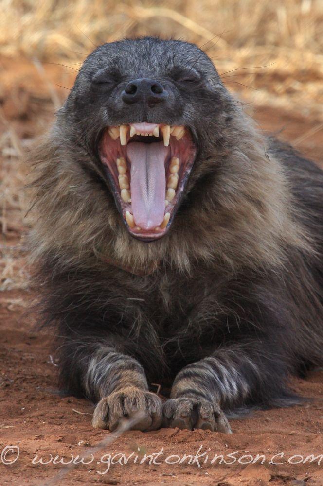 Brown hyena,yawning (Hyaena brunnea)