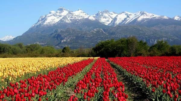 Los increíbles colores de los campos de tulipanes cerca de Esquel y Trevelin, cerca del parque nacional Los Alerces, en Chubut