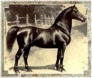 Justin Morgan's horse, was the start of the Majestic MORGAN of Today. Neeko traces to him through Bourbon King (multiple lines) back to Indian Chief, whose pedigree was composed of numerous athletic horses - Standardbreds, TBs, Saddlebreds, and Morgans. Also traces back to Justin Morgan through Rex McDonald.