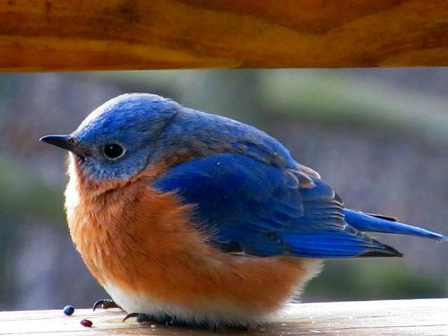 Bluebird = happiness ... Just yesterday my mom mentioned how bluebirds were my grandmother's favorite! And this lil guy pops up on my pinterest page!