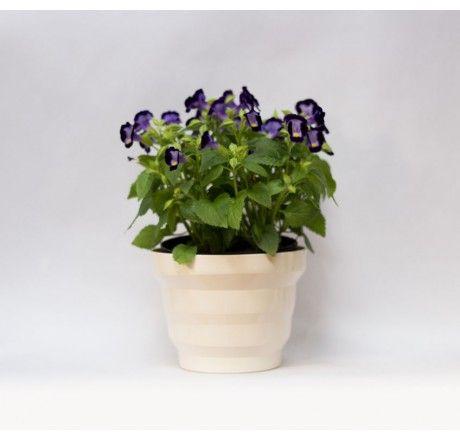 Planta Torrenia Morada
