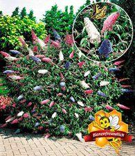 Sommer-Flieder 'Papillion Tricolor'