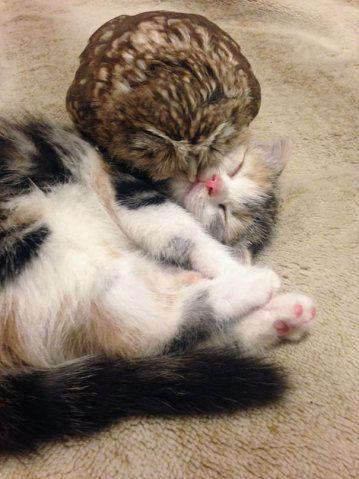 Fuku, a coruja, e Marimo, o filhote de gato   Virgula