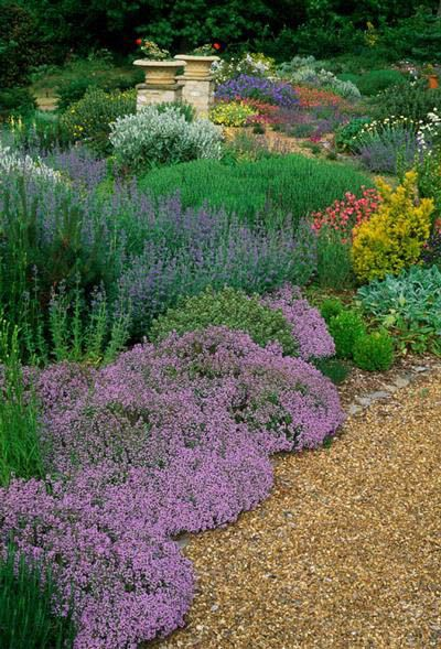 Dry garden with drought tolerant ground cover low maintenance plants thymes nepeta helianthemums summer flower July.