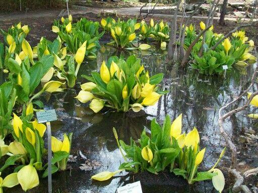 Lysichiton americanus Tulejnik amerykański         Bardzo dekoracyjna kłączowa bylina, pochodząca z Ameryki Północnej. Kwiaty koloru żółtego, pojawiają się wiosną przed wyrośnięciem liści.    Tulejnik dorasta do 1m wysokości. Najlepiej rosną na podmokłych stanowiskach np. nab brzegiem zbiorników. Rozmnażany jest przez podział kłączy i wysiew nasion. Sama roślina wolnorosnąca, ale bardzo ekspansywna.  W Polsce znajduje się na liście roślin, których, rozmnażanie i przechowywanie jest prawnie…