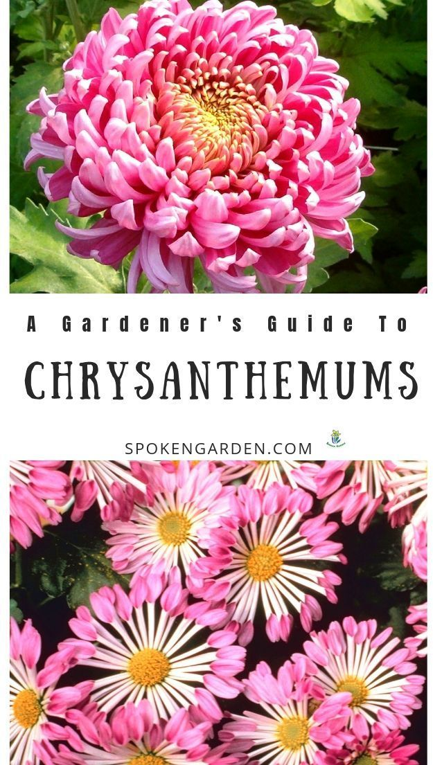 Chrysanthemums A Gardener S Guide And Plant Profile Summer Flowers Garden Fall Bulb Planting Fall Flowers Garden