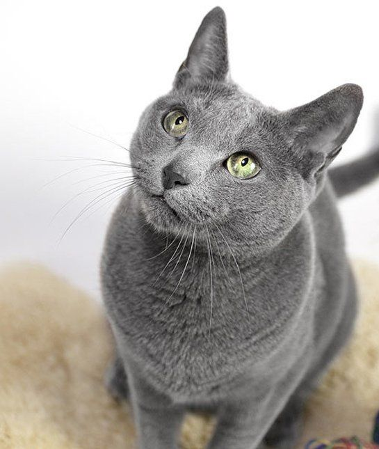 These breeds are recommended for those with cat allergies Russian blue