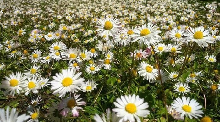 Coloridos Campos de Flores Margaridas em uma pradaria, na Inglaterra.