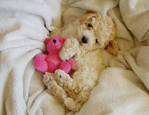 131 Best Ideas About Cockapoo Stuff On Pinterest Poodles Best Dogs And Check Designs
